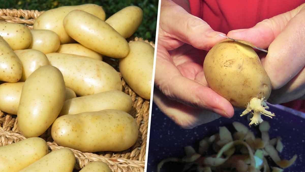 Pommes de terre flétries/germées : Découvrez comment les recycler ?